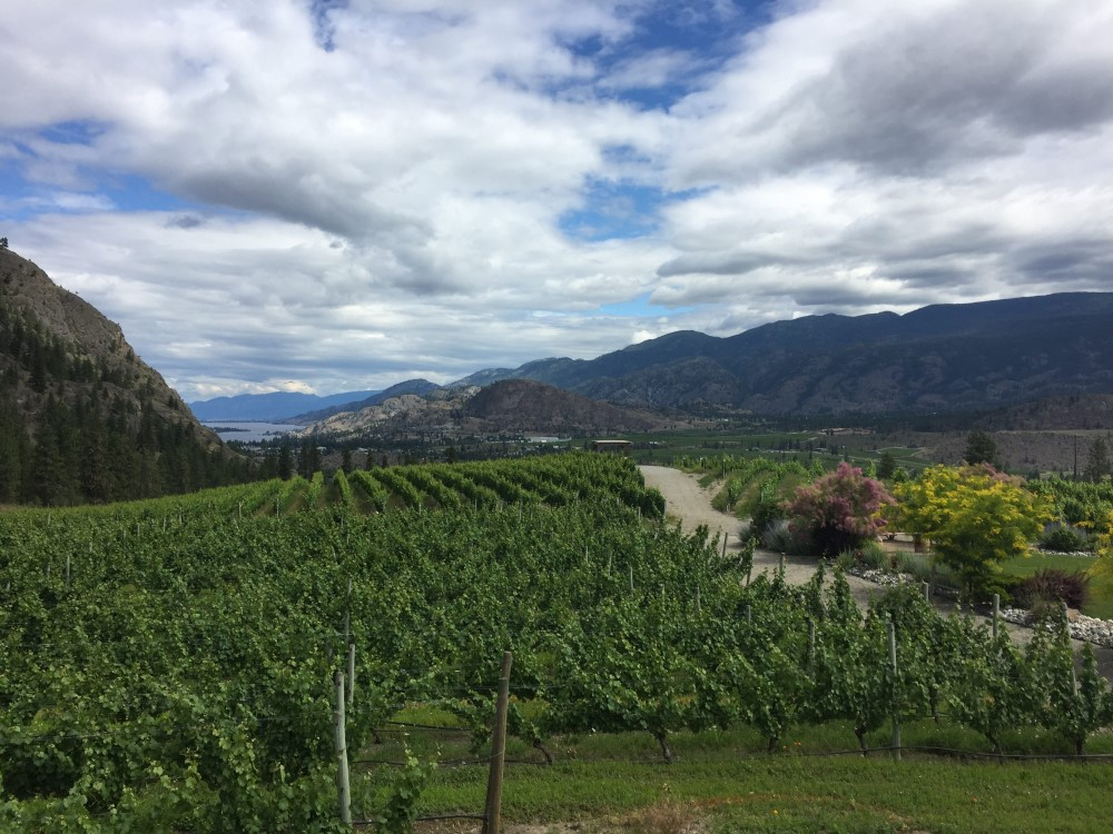 Vines in the Okanagan